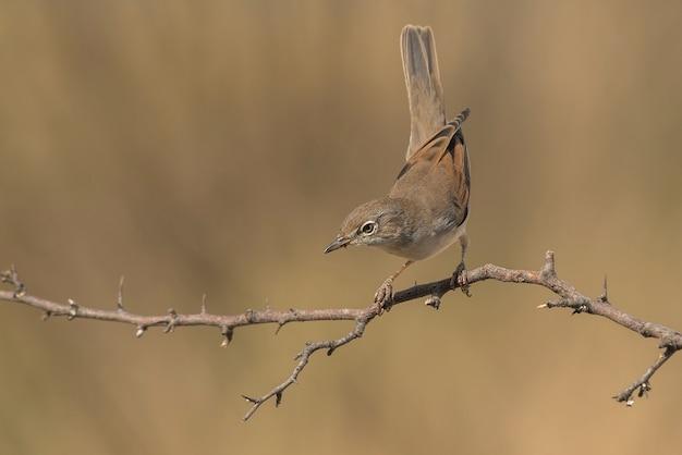 Uccello comune di whintethroat sul ramo con caldo