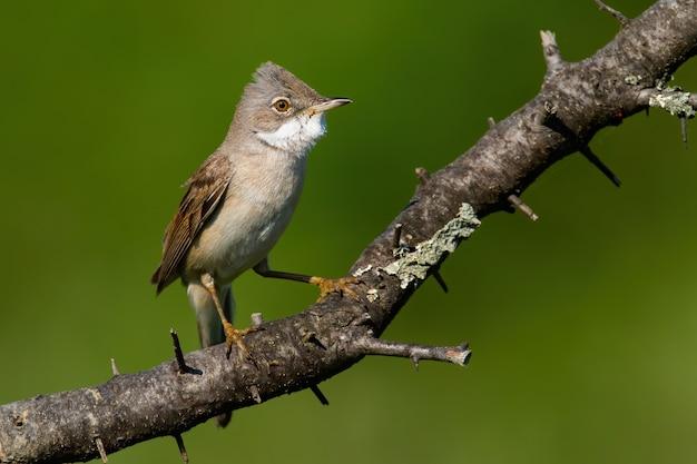 Whitethroat comune seduto sul ramo in estate soleggiata