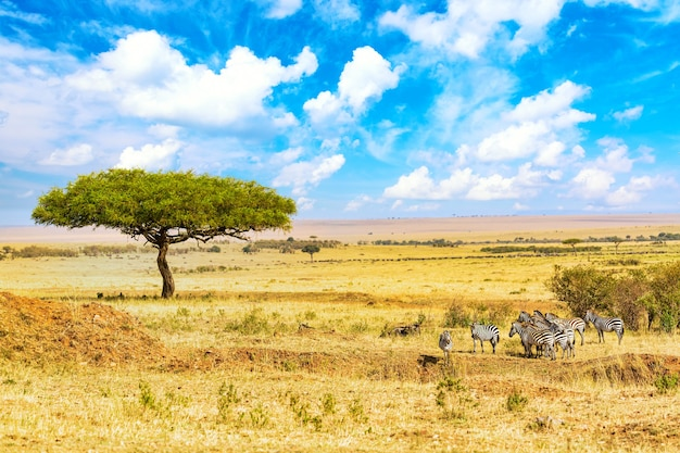 Zebre comuni equus quagga che camminano nel parco nazionale del masai mara vicino al grande albero di acacia. paesaggio africano. kenia, africa.