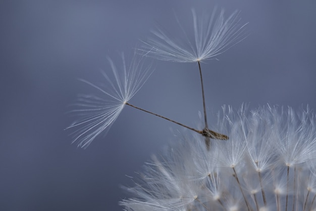 Compatibilità di due persone. un simbolo di solidarietà. semi di tarassaco volanti.