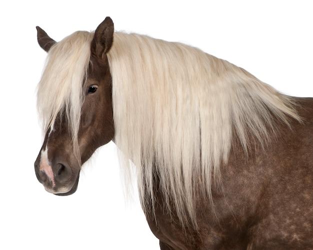 Cavallo comtois, un cavallo da tiro, equus caballus in piedi bianco ione isolato