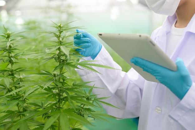 Concetto di piantagione di cannabis per uso medico, primo piano di scienziato utilizzando tablet per raccogliere dati sulla fattoria indoor di cannabis sativa