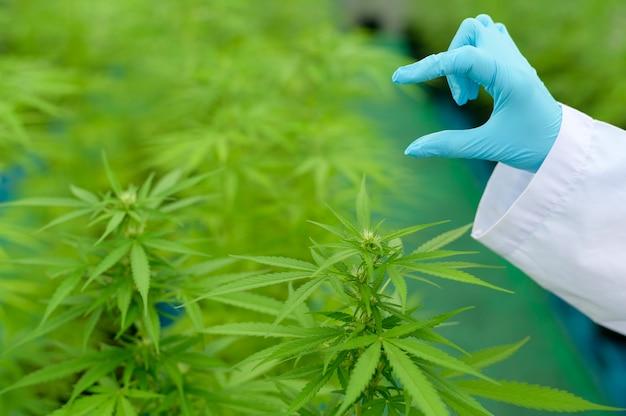 Concetto di piantagione di cannabis per uso medico, uno scienziato che tiene una provetta nella fattoria di cannabis sativa.