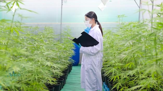 Concetto di piantagione di cannabis per uso medico, uno scienziato sta raccogliendo dati sulla fattoria indoor di cannabis sativa