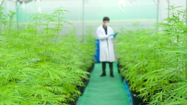 Concetto di piantagione di cannabis per uso medico, uno scienziato che utilizza tablet per raccogliere dati sulla fattoria indoor di cannabis sativa