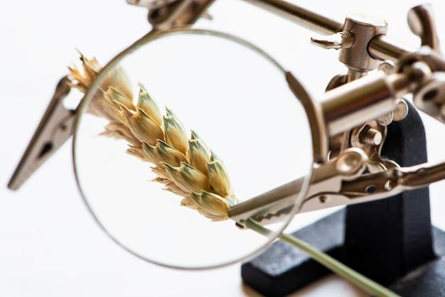 Concetto di ricerca o controllo dell'industria agroalimentare spiga di grano vista attraverso una lente di ingrandimento