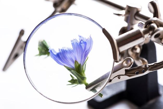 Piante di ricerca concettuale fiore blu di cicoria visto attraverso una lente di ingrandimento in primo piano