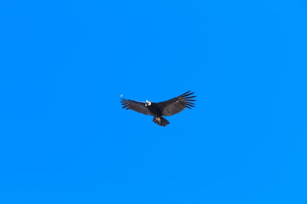 Condor che vola nel cielo blu