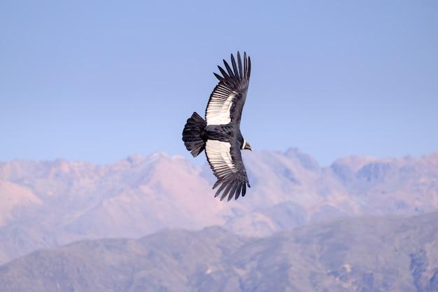 Volo del condor sopra il canyon di colca nel perù