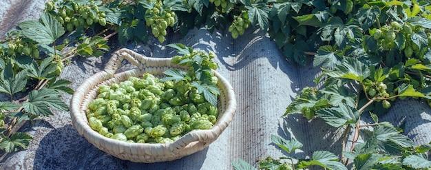 Coni di luppolo in un cesto per la produzione di birra fresca naturale concetto di produzione di birra