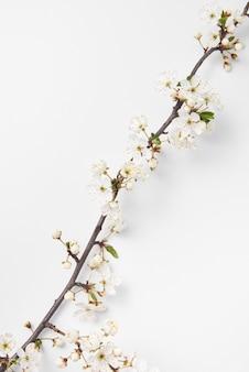 Congratulazioni composizione diagonale con teneri fiori di ciliegio in fiore ramo su uno sfondo bianco, copia dello spazio. biglietto di auguri di primavera.