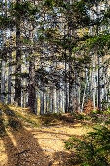 Foresta di conifere nella stagione autunnale illuminata dal sole
