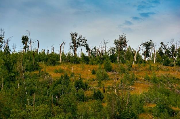 Foresta di conifere sulla montagna dopo l'uragano