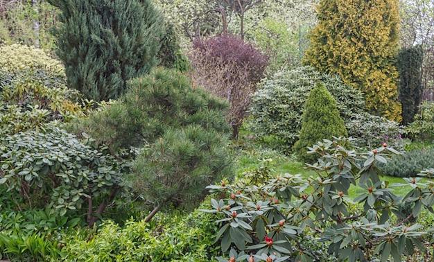Conifere in giardino: abete rosso, arborvitae, pino, abete, ginepro.