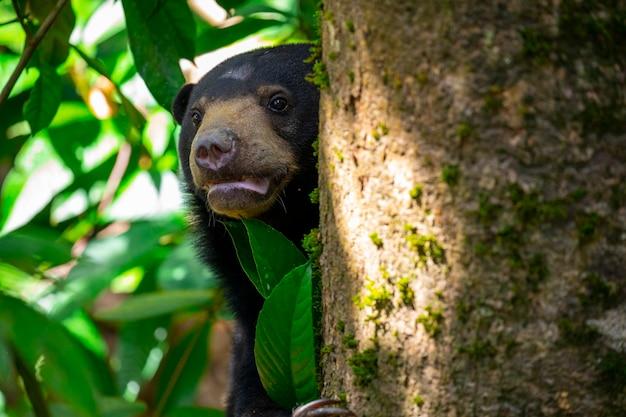 Animali da conservazione, orsi malesi, sandakan, sabah, borneo, malesia