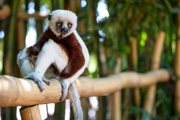 Coquerel sifaka nel suo ambiente naturale in un parco nazionale dell'isola del madagascar.