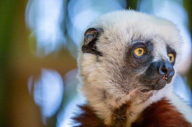 Il coquerel sifaka nel suo ambiente naturale in un parco nazionale dell'isola del madagascar.