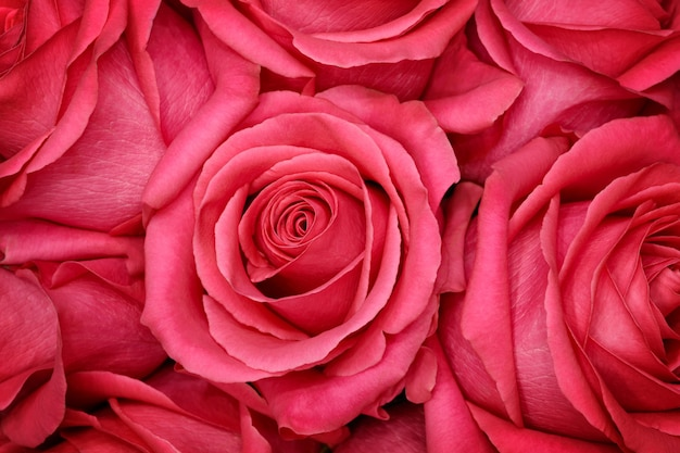 Fiore di rosa corallo. ritocco dettagliato