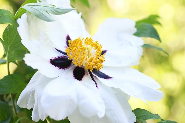 Il nucleo di una peonia aperta simile ad un albero fiore fresco e profumato di primavera