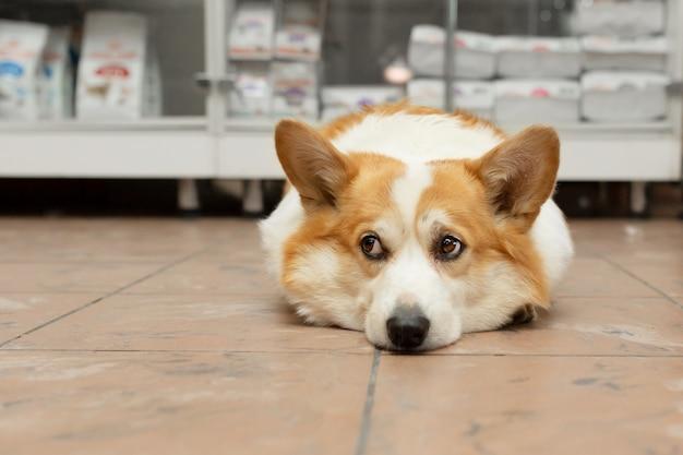 Il cane corgi è sdraiato sul pavimento in un negozio di animali e sta aspettando il proprietario