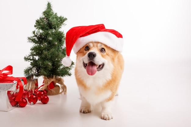 Cane corgi su bianco in un cappello di babbo natale e con un regalo, che celebra il nuovo anno, il natale