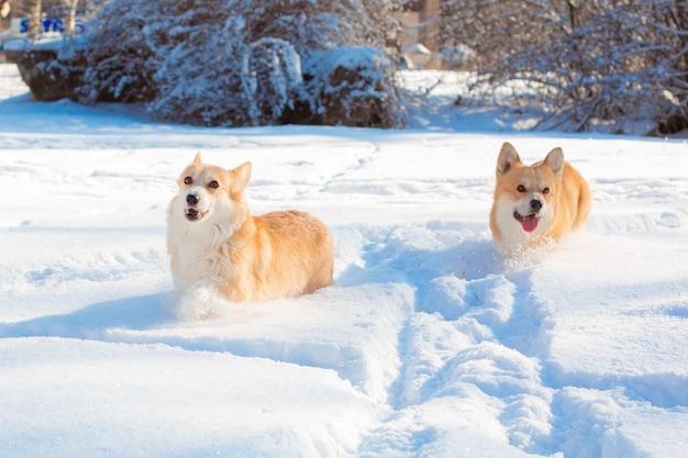 Cani corgi che corrono nella neve in una passeggiata in inverno
