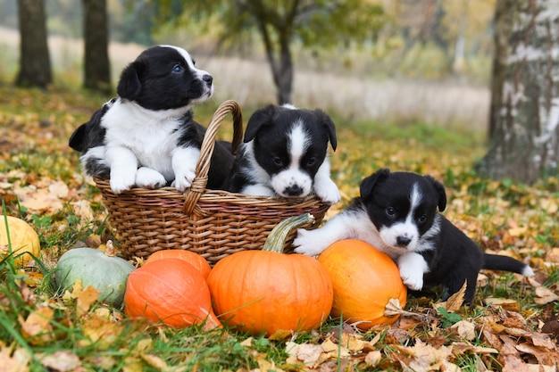 Cuccioli di corgi cani con zucche