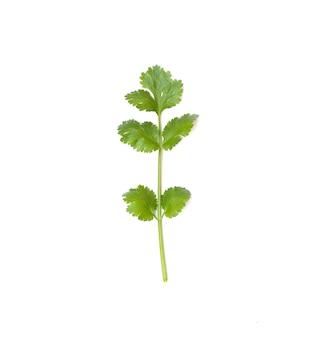 Coriandolo di ingrediente vegetale isolato su sfondo bianco per il design nel tuo lavoro.
