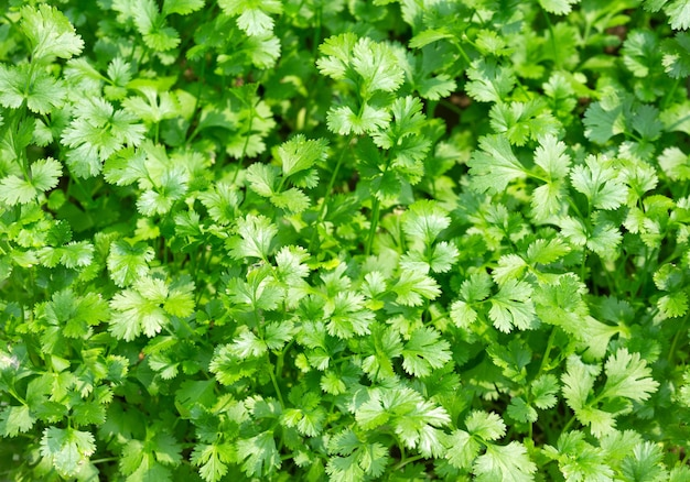 Foglie di coriandolo di verdure, erbe per cucinare.