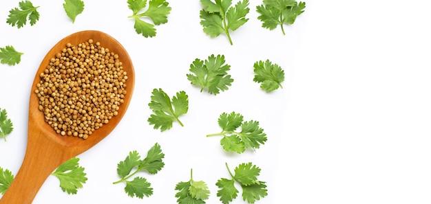 Semi di coriandolo con foglie fresche isolate su bianco