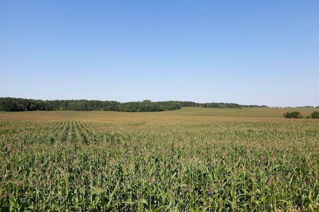 Campo di grano, agricoltura - campo agricolo su cui crescono mais immaturo verde