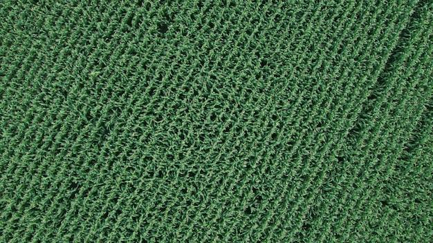 Campo di mais, volo sopra la crema di stocchi di mais, ottima crescita, buon raccolto di mais, maturazione del campo di mais.