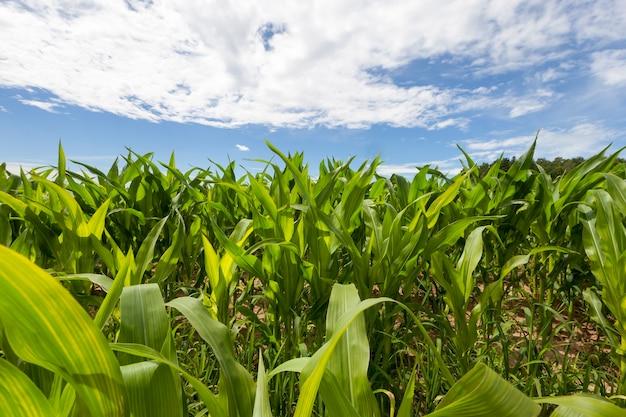Campo di grano con piante verdi sul territorio di un campo agricolo nella stagione estiva, un paesaggio con un cielo blu