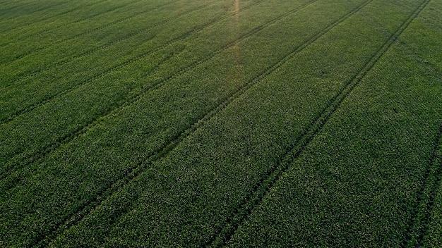 Campo di mais con piante giovani su terreno fertile al tramonto