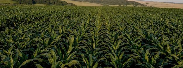 Campo di mais con piante giovani su terreno fertile al tramonto.