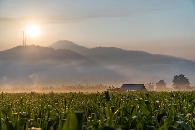 Campi di grano durante l'alba mattutina con nebbia a strati di montagne