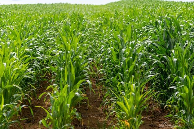 Piantagione di mais. concetto di agricoltura per l'esportazione