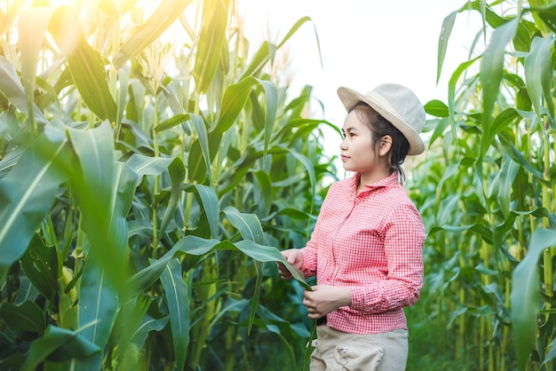 Piantatrici di mais controllo diagnosticare la malattia del mais e il sole sta cadendo