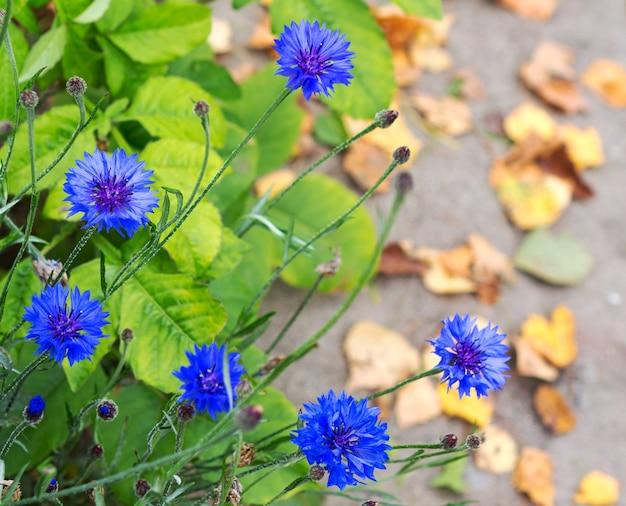 Fiordaliso, centaurea cyanus, asteraceae. fiori blu di fiordalisi sullo sfondo autunnale. sfondo sfocato della natura con bokeh.