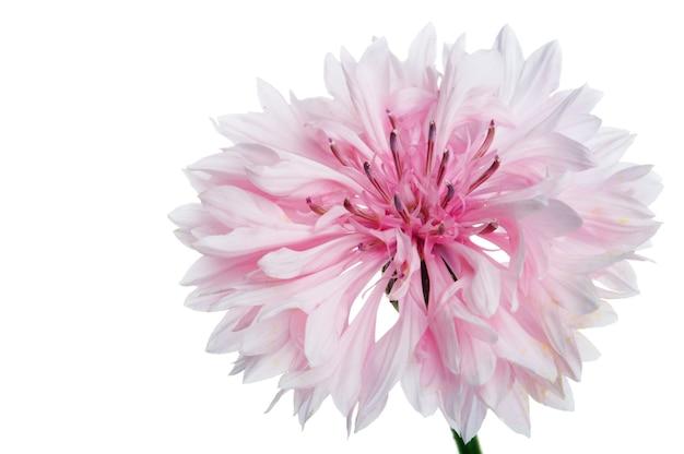 Fiore di fiordaliso su sfondo bianco
