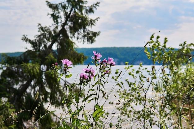 Fiori di fiordaliso e altre erbe sullo sfondo di un paesaggio fluviale sfocato