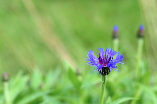Fiordaliso in piena fioritura.