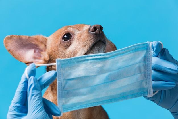 Concetto di quarantena di pandemia di coronavirus, mani che mettono sulla mascherina medica sulla faccia del cane marrone,