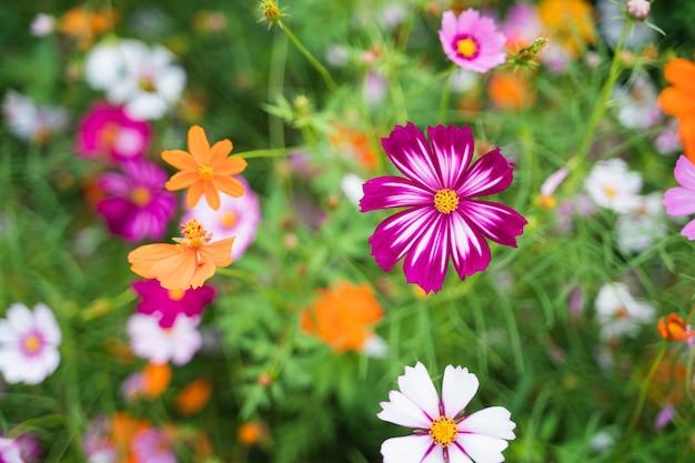 Fiori dell'universo nel giardino fiorito, concetto di fiori della natura