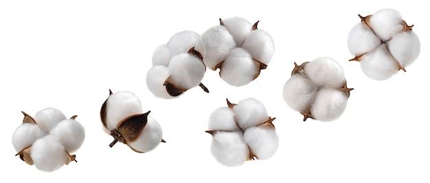 Fiore della pianta di cotone isolato sulla raccolta bianca del fondo
