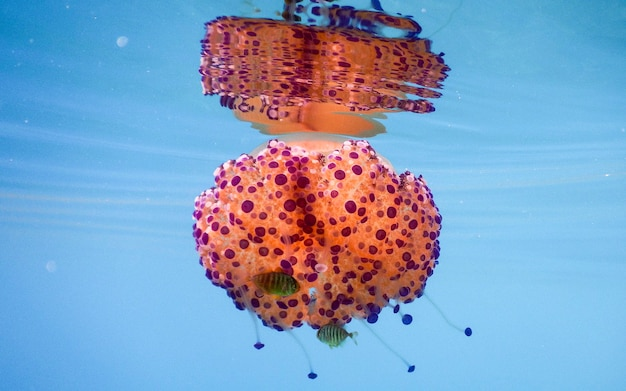 Cotylorhiza tuberculata noto anche come gelatina mediterranea o medusa uovo fritto nel mar mediterraneo, italia