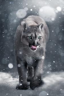 Un puma cammina nella neve. bellissimo sfondo. tonalità fredde.