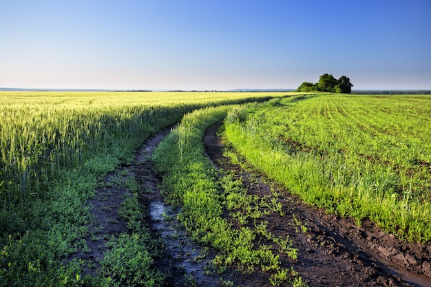 Strada campestre in un campo con le orecchie verdi del grano