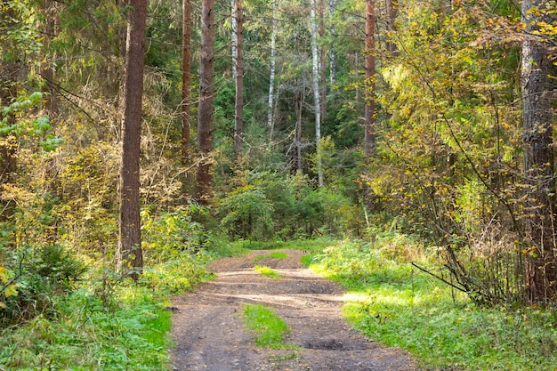 Strada di campagna in una pineta in autunno