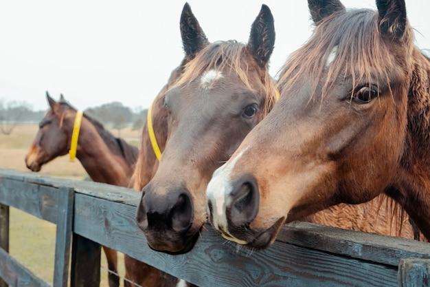 Campo di campagna e cavalli scena rurale idilliaca mattinata nebbiosa alla fattoria cavalli vicino ritratto